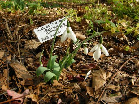 Galanthus elwesii ex Montrose Gardens