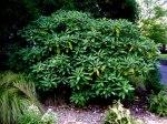 Edgeworthia Scott Arboretum Fall 2014