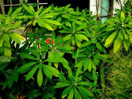 Edgeworthia Chanticleer Fall 2014