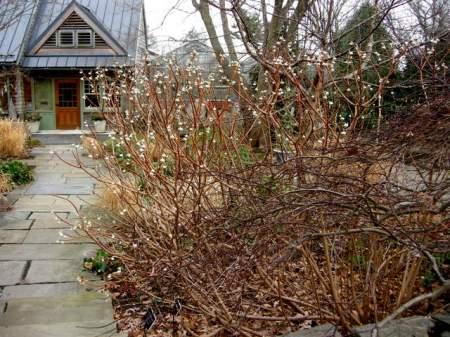 edgeworthia-chrysantha-1-18-2017-2-11-10-am
