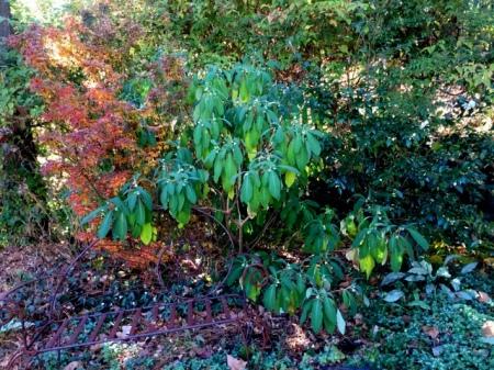 edgeworthia-chrysantha-11-18-2016-2-29-43-pm