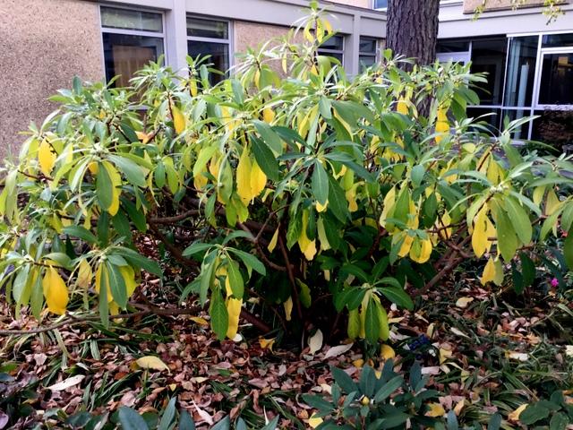 Edgeworthia chrysantha 11 6 2016 3 58 01 pm carolyn 39 s for Edgeworthia chrysantha