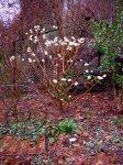 edgeworthia-chrysantha-3-14-2016-4-32-23-pm