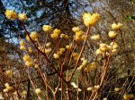 edgeworthia-chrysantha-3-18-2016-10-11-39-am