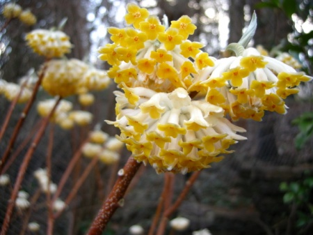 edgeworthia-chrysantha-3-21-2016-6-39-29-pm