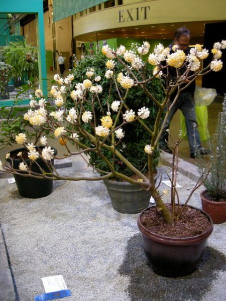 edgeworthia-chrysantha-3-6-2016-9-44-03-pm