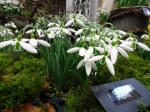 Galanthus 'Dragonfly'