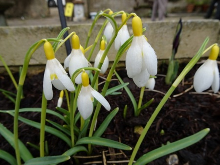 Galanthus 'Fiona's Gold' nivalis