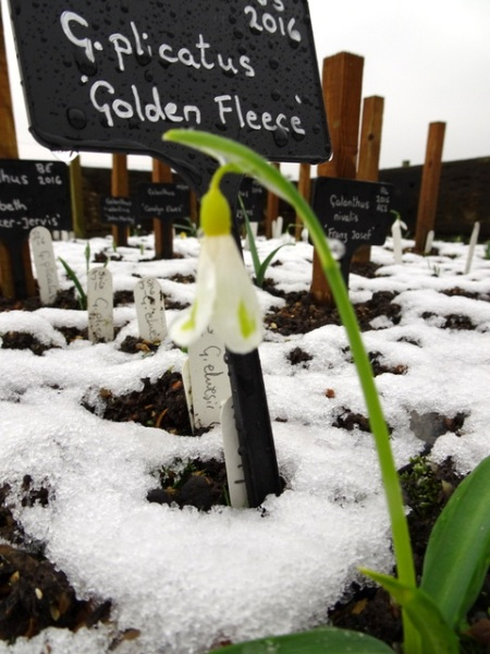 Galanthus 'Golden Fleece' plicatus