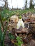 Galanthus 'Midas' seedling