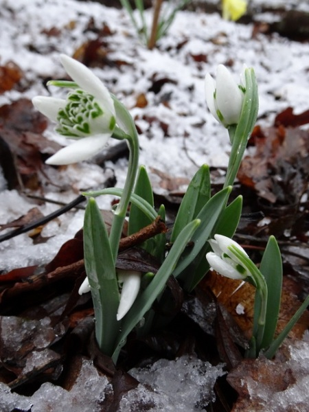Galanthus 'Neckless Wonder'
