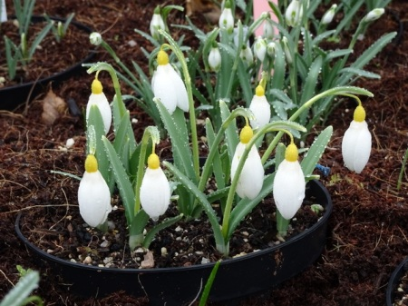 Galanthus 'Treasure Island'