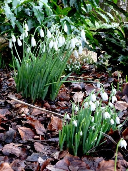 Galanthus 'Atkinsii' with Galanthus 'Flore Pleno