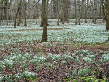 galanthus-nivalis-welford-park-2-5-2017-6-40-38-am