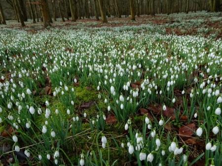 galanthus-nivalis-welford-park-2-5-2017-6-50-02-am