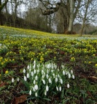 galanthus-nivalis-welford-park-2-5-2017-7-26-017