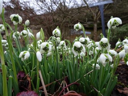 Galanthus 'Rodmarton'