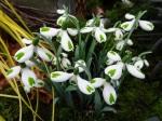 Galanthus 'Trumps'