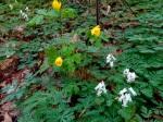 Dicentra canadensis & Stylophorumdiphyllum