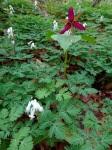 Dicentra canadensis & Trilliumerectum