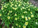 Anemone x seemanii
