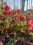 Helleborus claret