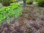 Hosta 'Sagae', Polygonatum 'Variegatum', Epimedium 'Lilafee', Cimicifuga
