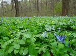 Mertensia virginiana, Jeffersonia diphylla, Podophyllum peltatum, Stylophorum diphyllum 4-21-2017 10-13-04AM