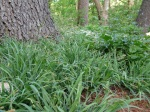 Carex 'Bunny Blue'