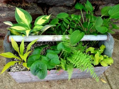 Hosta Sun Mouse Carolyns Shade Gardens