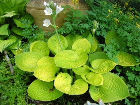 2017 hosta of the year carolyns shade gardens maui buttercups 10 tall and 14 wide near white flowers elegant small hosta prized for its bright color and unique cup shaped leaves mightylinksfo