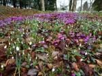 Galanthus & Cyclamen coum at Colesbourne Park 2-6-2017 6-41-20AM