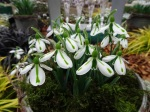 Galanthus 'South Hayes'