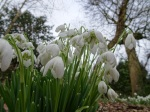 Galanthus 'Flore Pleno'