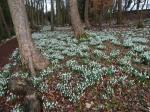 Painswick woodland 2-5-2017 10-13-51AM