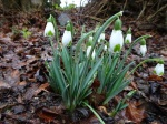 Galanthus 'Green ofHearts'