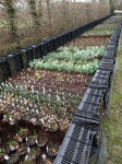 Avon Bulbs production beds