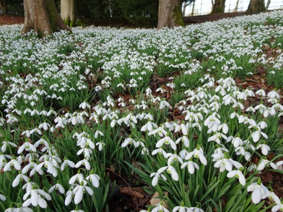 Collecting Snowdrops Carolyn S Shade Gardens