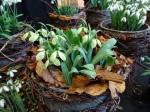 Galanthus 'Rosemary Burnham'