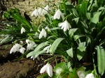 Galanthus Don Armstrong