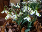 Galanthus Veronica Cross