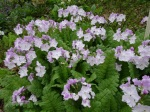 Primula sieboldii bicolor filigree 4-30-2018 6-53-01 AM