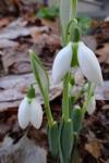 Galanthus Faringdon Double