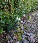 Galanthus Trym Seedling