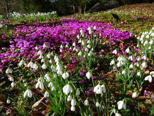 Visiting Snowdrop Gardens Uk Carolyn S Shade Gardens