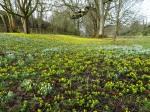 Welford Park Galanthus nivalis &Eranthis