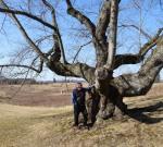Prunus sargentii Winterthur