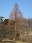 Metasequoia Winterthur