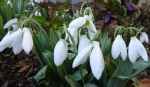 Galanthus Miller's Late