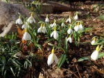 Galanthus 'Wendy's Gold'